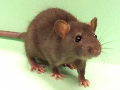 Eye damage in rats exposed to millimetre wave radiation